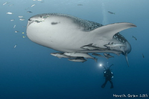 WhaleShark with Videographer by Henrik Gram Rasmussen 